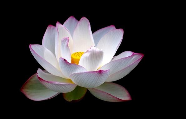 Картинка цветок, фон, лепестки, лотос