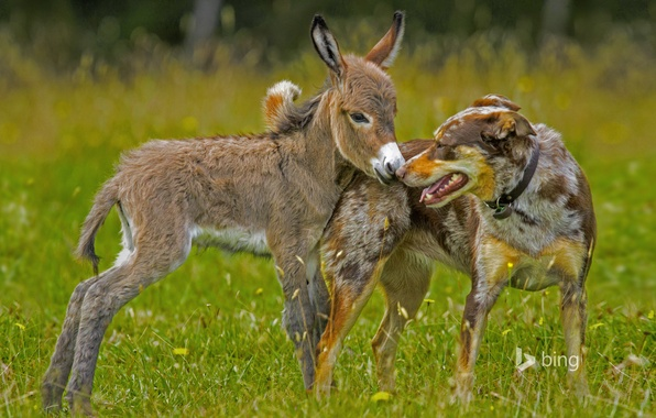 Картинка трава, собака, луг, ослик