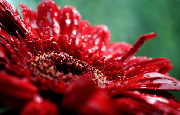 Картинка цветок, капли, макро, красный, растение, лепестки