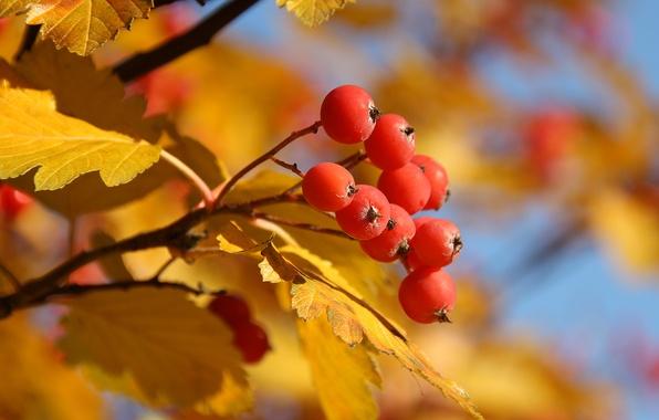 Картинка осень, листья, желтый, красный, дерево, ягода, рябина