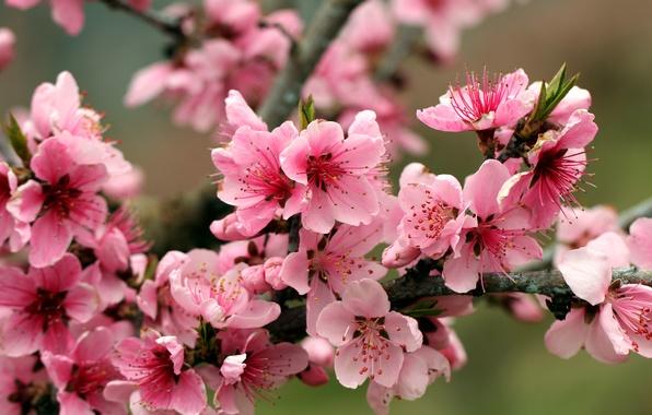 Картинка листья, цветы, яркие, красота, ветка, весна, лепестки, тычинки, нежные, розовые, яблоня, бутоны, цветение, pink, flowers, …
