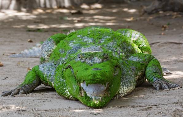 Картинка взгляд, цвет, пасть, Африканский крокодил