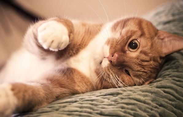Картинка лапы, нос, Кот, рыжий, прищурил глаз