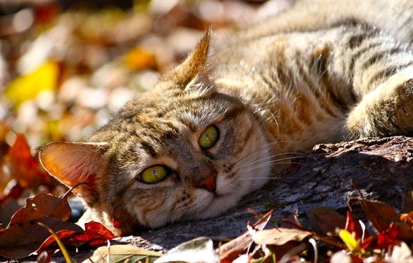 Картинка осень, кот, взгляд, морда, листья, животное, лежит