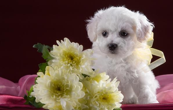 Картинка белый, милый, щенок, хризантемы, бишон фризе
