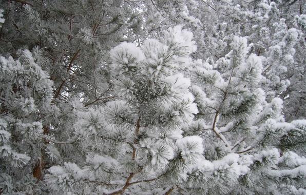 Природа елки лес снег иней зима