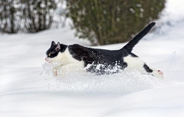 Картинка зима, кошка, кот, снег, бежит, ©Tambako The Jaguar