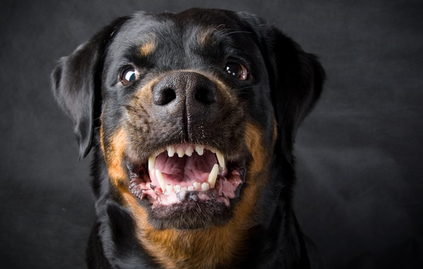Картинки собаки ротвейлер