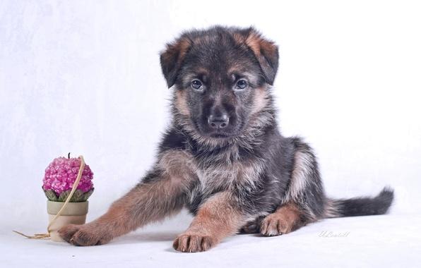 Картинка свеча, щенок, порода, немецкая овчарка