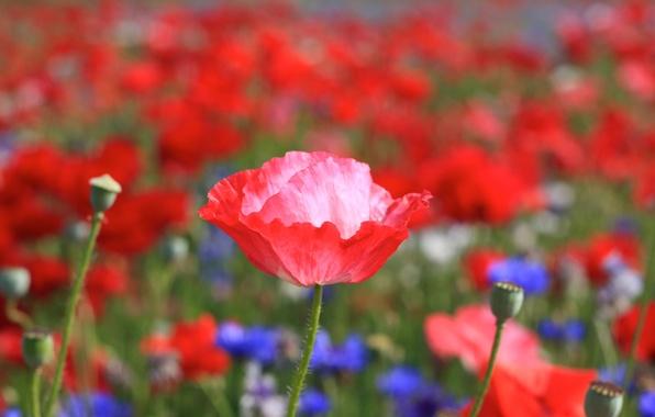 Картинка поле, цветок, лето, цветы, красный, яркий, тепло, розовый, поляна, растение, мак, лепестки, стебель, бутон, синие