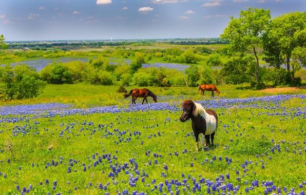 Картинка цветы, природа, кони, лошади, луг, Texas, Техас