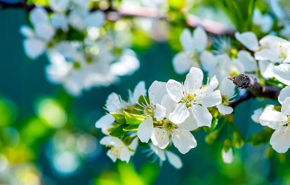 Картинка дерево, ветка, весна, солнечно, яблоня, цветение, цветки
