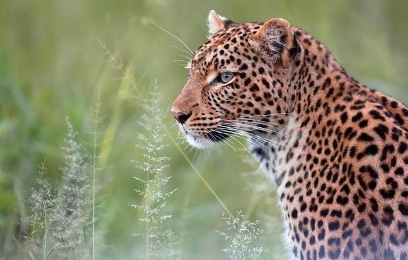 Картинка портрет, хищник, леопард, дикая кошка