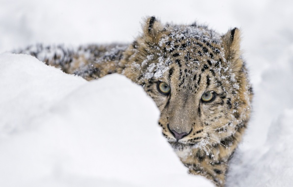 Картинка зима, морда, снег, хищник, ирбис, снежный барс, детёныш, сугроб, дикая кошка, зоопарк, молодой, выглядывает, снежный ...