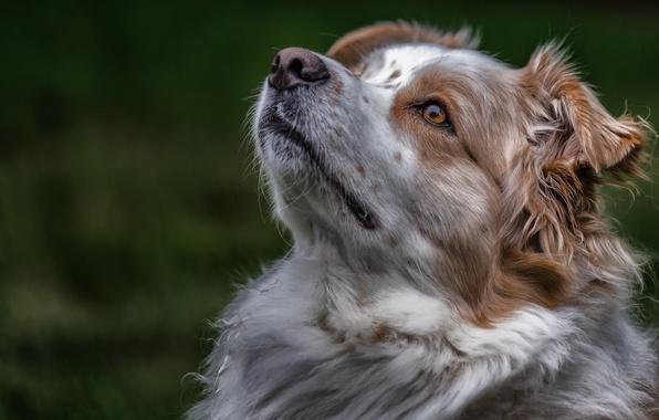 Картинка морда, портрет, собака, Австралийская овчарка, Аусси