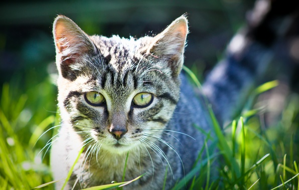 Обои картинки фото обои кот трава