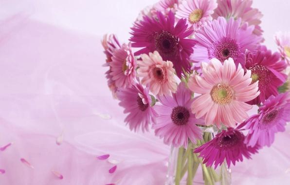 Картинка фон, розовый, Цветы, герберы