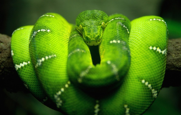 Картинка макро, природа, зеленый, змея