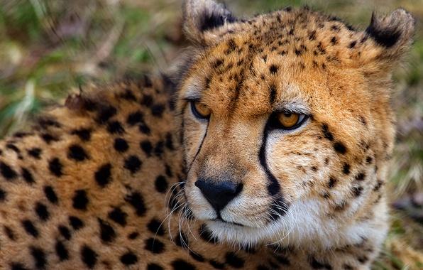 Картинка взгляд, гепард, зверь