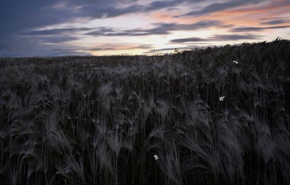 Картинка поле, небо, пейзаж, ночь, природа, колосья