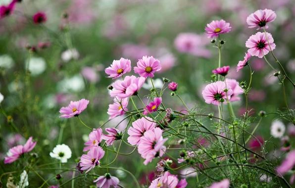 Картинка зелень, поле, лето, трава, макро, цветы, природа, поляна, растения, розовые, космея