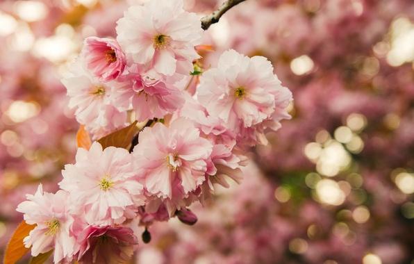 Картинка листья, макро, цветы, природа, ветка, весна, сакура, розовые, цветение, боке