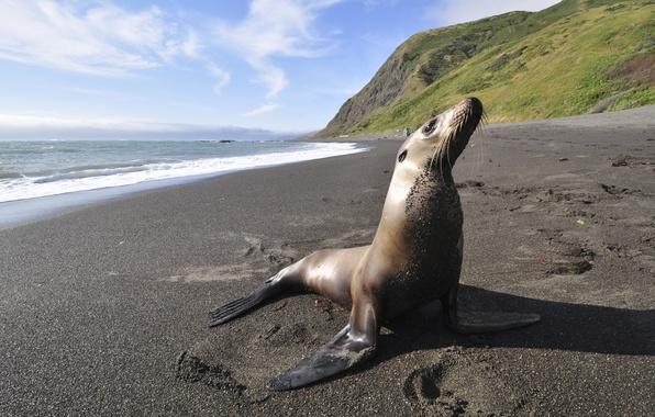 Картинка море, берег, побережье, тюлень, морской котик