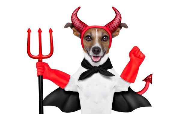 Картинка юмор, трезубец, хвост, наряд, красные, белый фон, рога, перчатки, дьявол, накидка, Джек-рассел-терьер