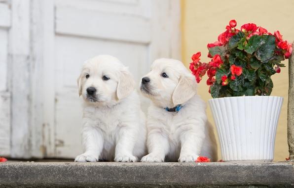 Картинка собаки, цветок, щенки, парочка, двойняшки, бегония