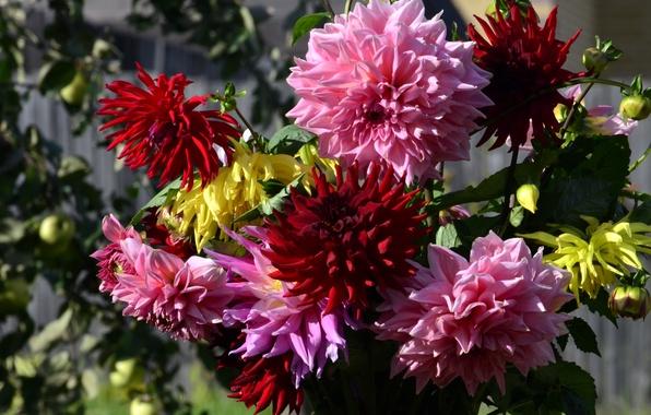 Картинка фото, Цветы, Георгины
