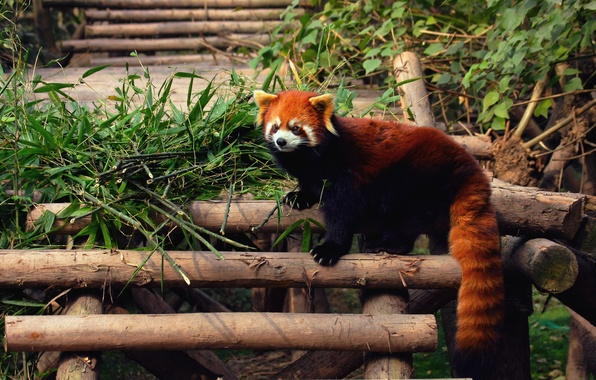 Картинка панда, firefox, красная, zoo