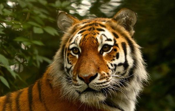 Картинка кошка, взгляд, природа, тигр, шерсть