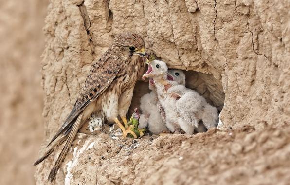 Картинка птицы, природа, красота, хищник, пища, гнездо, птенцы, ящерка