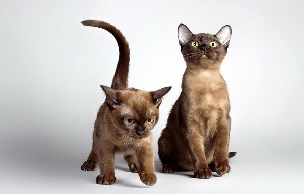 Картинка фото, Кошки, Котята, Двое, Животные