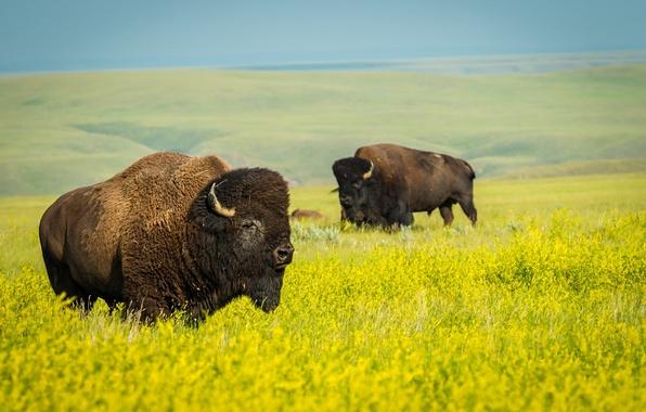 Картинка поле, природа, дикая природа, национальный парк, рапс, бизоны
