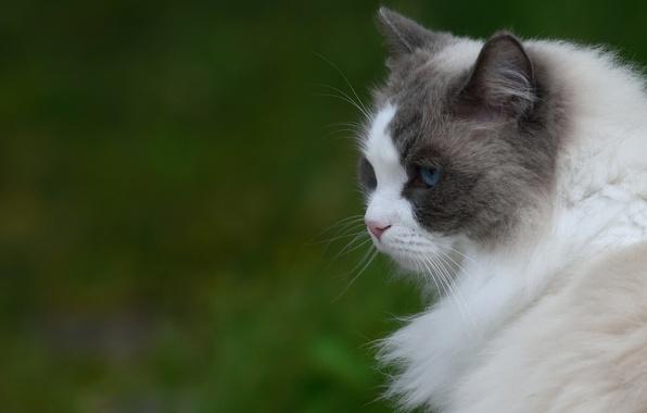 Картинка кошка, фон, портрет, профиль, пушистая, мордочув