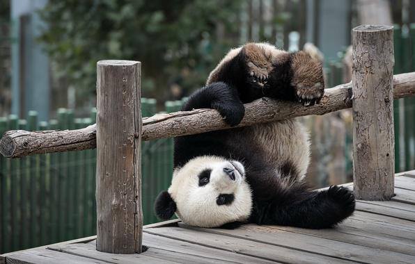 Картинка игра, медведь, панда