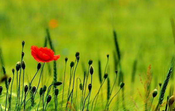 Картинка зелень, поле, природа, маки