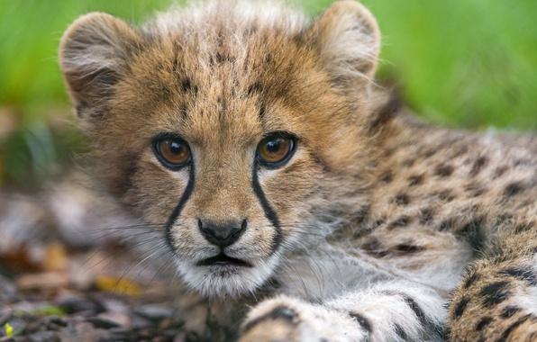 Картинка кошка, взгляд, морда, гепард, детёныш, котёнок, ©Tambako The Jaguar