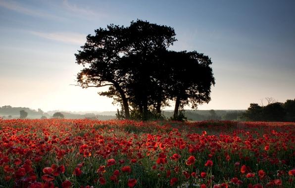 Картинка поле, лето, солнце, лучи, свет, деревья, цветы, природа, фон, обои, маки