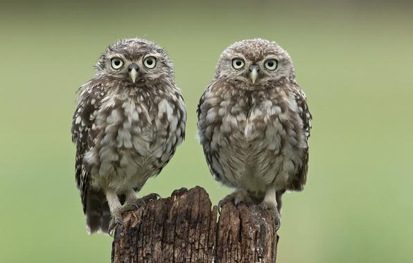 Картинка птицы, две, пень, совы