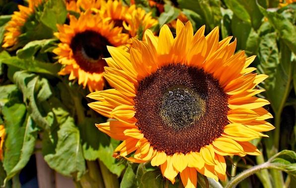 Картинка зелень, поле, цветок, листья, подсолнухи, желтый, семечки, field, yellow, Sunflower