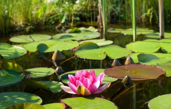 Картинка цветок, листья, вода, природа, озеро, пруд, розовый, лотос, кувшинка, водяная лилия