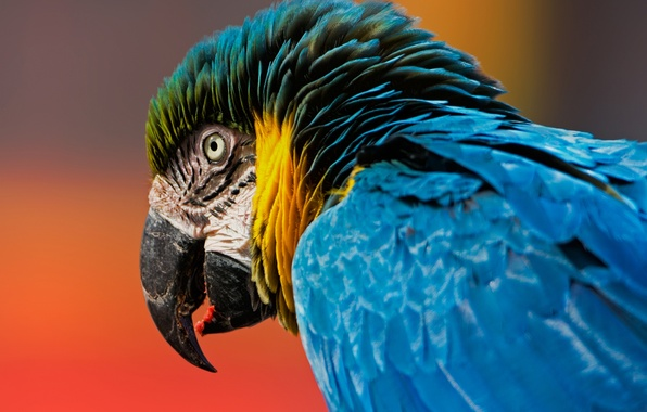 Картинка фон, птица, голова, перья, клюв, попугай, ара, Сине-жёлтый ара