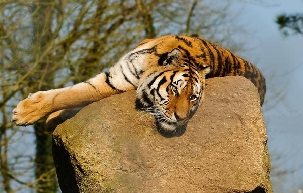 Картинка усы, морда, тигр, лапы, лежит, смотрит, на камне