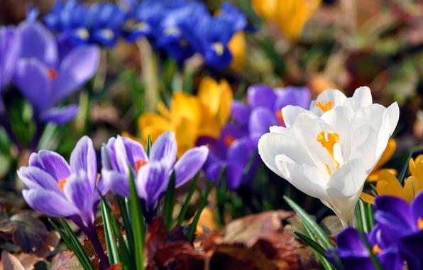 Картинка зелень, листья, цвета, цветы, синий, желтый, фон, краски, весна, размытость, подснежники, крокусы, яркость