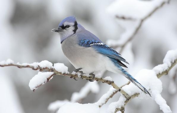 Картинка зима, снег, птица, Ветка