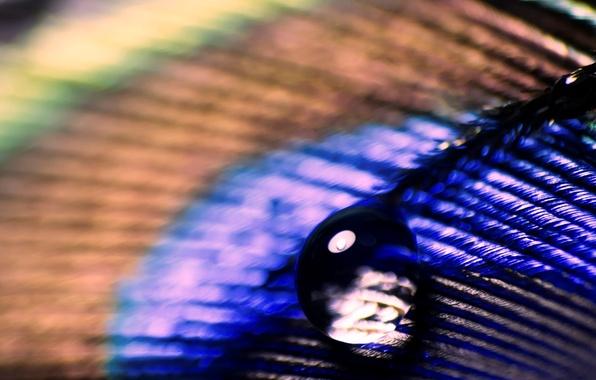 Картинка вода, капли, макро, роса, фон, перо, обои, капля, размытие, wallpaper, павлин, широкоформатные, background, цветное, macro, …