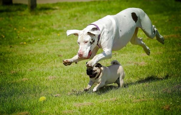 Картинка собаки, бег, мопс, дог, наперегонки