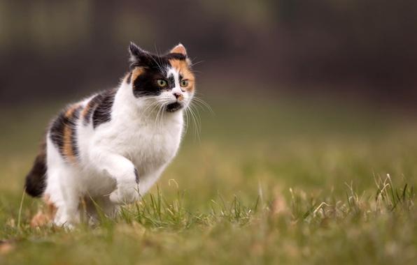 Картинка кошка, лето, трава, природа, размытие, бежит, трехцветная